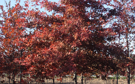 【多图】北美红栎移植后注意事项 北美红枫变色时间