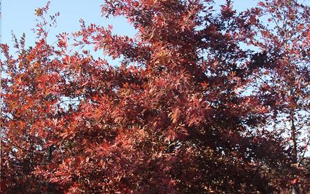 【知识】美国红枫树种 美国红枫的抗寒性