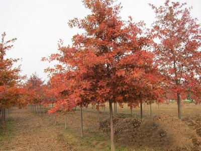 供应北美红栎