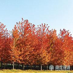 营口红枫树种