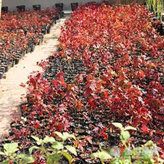 【新】美国红枫种植 美国红枫