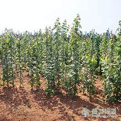 【推荐】美国红枫叶子变色 美国红枫生产