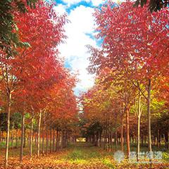 【资讯】美国红枫叶子变色 美国红枫种类