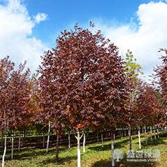 【知识】美国红枫种植方法 美国红枫美景