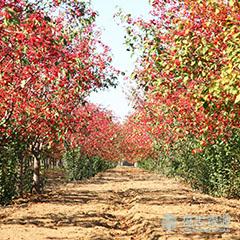 【厂家】美国红枫的生长习性 美国红枫适合冬天养殖吗
