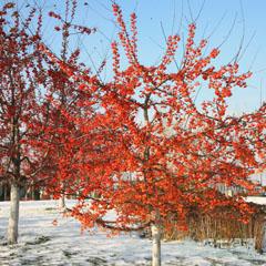 【最新】美国红枫种植 最抗寒的美国红枫