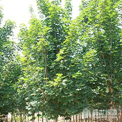 【优选】种植红枫小苗的时间 美国红枫特征