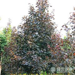 挪威槭红国王