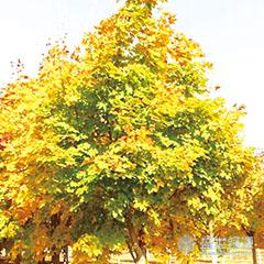 挪威槭哪家好