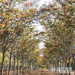 【原创】美国红枫欣赏 美国红枫供应商