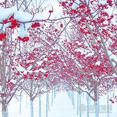 【优选】种植红枫小苗的时间 美国红枫适合冬天养殖吗