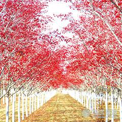 【资讯】北美红栎的需求度 北美红枫移植