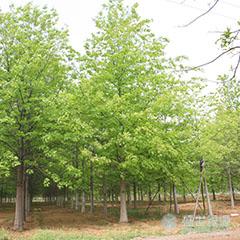 出售北美红栎
