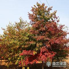 哪有卖北美红栎
