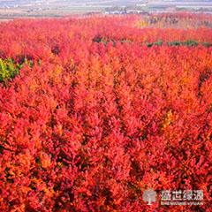 大连北美红枫