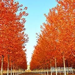 【多图】美国红枫种植时间 美国红枫价格