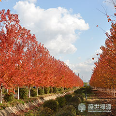 北京北美红枫