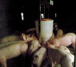智能化仔猪饲喂器