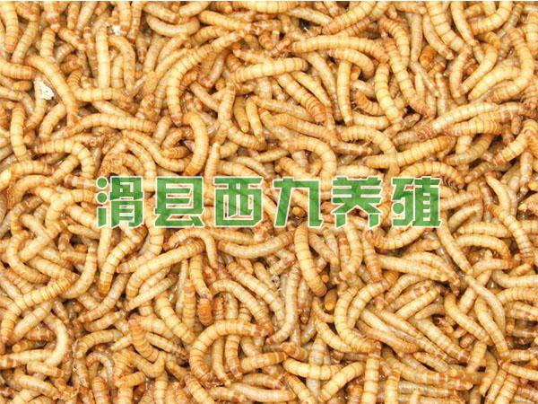 黄粉虫养殖
