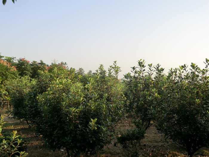 【新闻】石楠的有哪些病虫害防治方法? 红花继木的特点