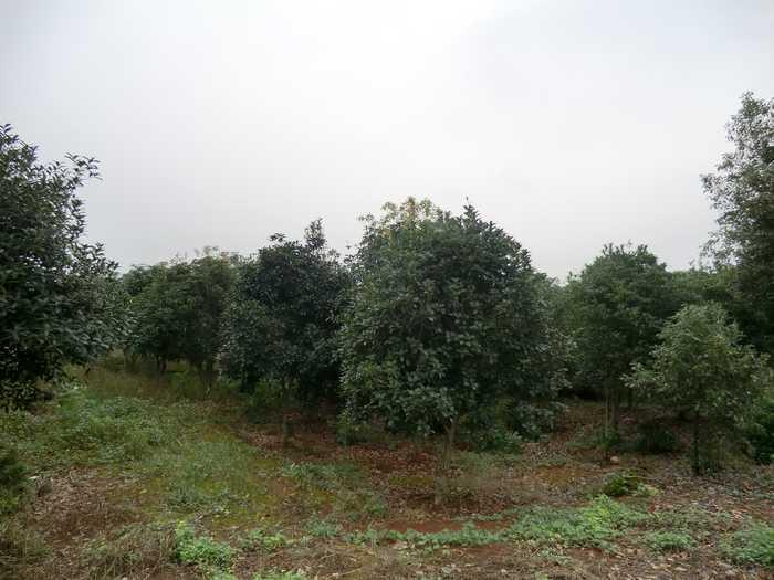 武汉桂花树