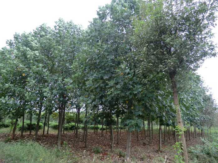 宜昌马褂木