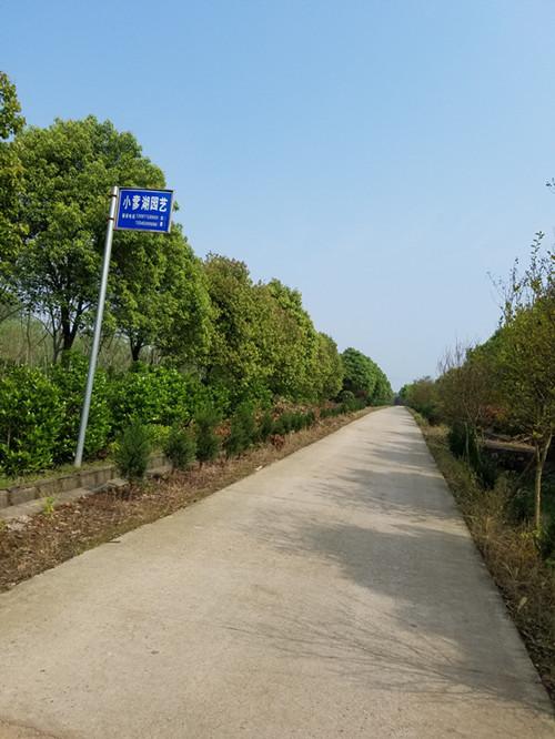 樟树(行道树)