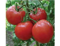 优质番茄种子