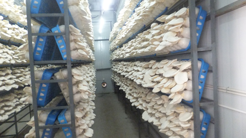 白灵菇厂家
