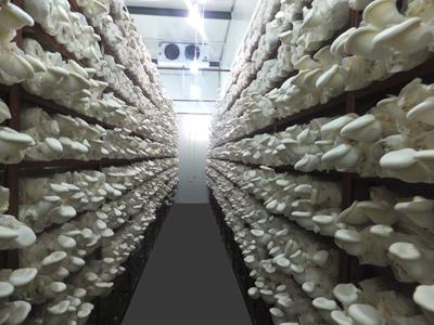 白灵菇工厂