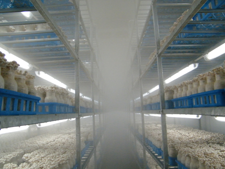 蟹味菇厂家