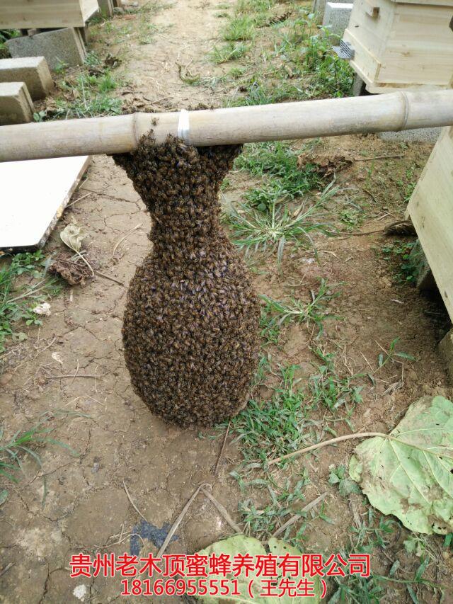 遵义土蜜蜂养殖技术