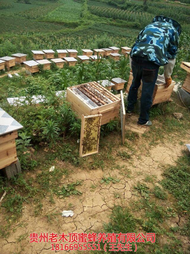 毕节土蜜蜂养殖技术
