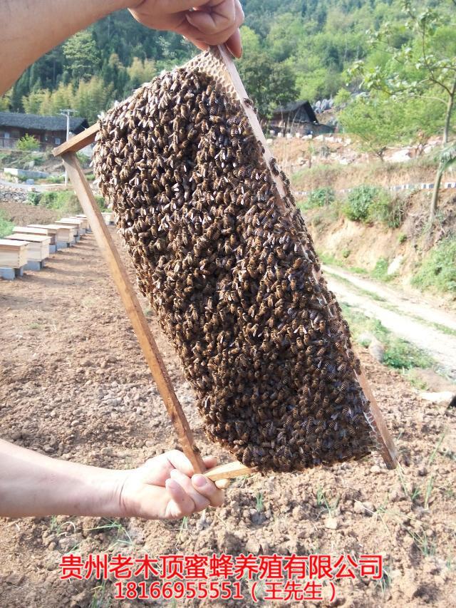 贵州中蜂群出售