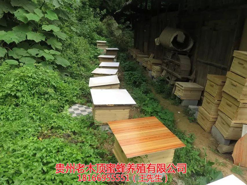 贵阳中蜂培育