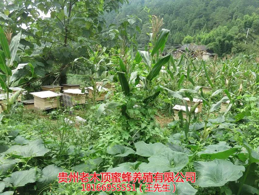 遵义中蜂培育