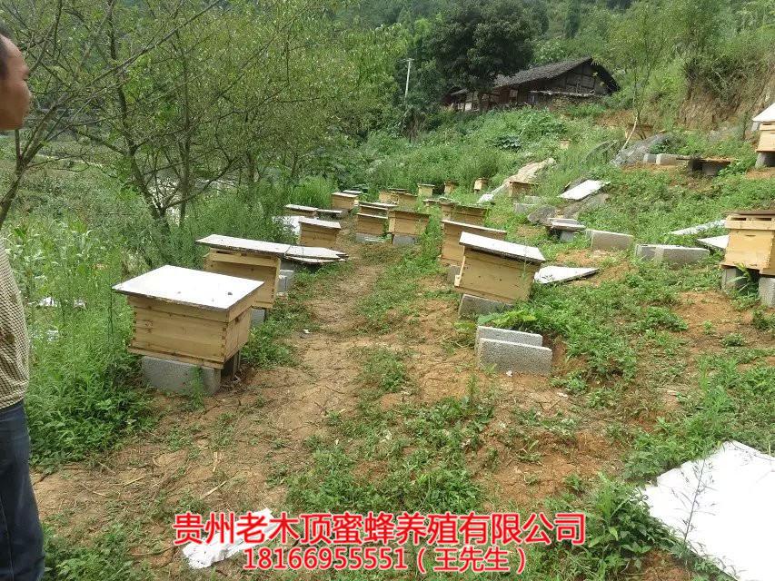 铜仁中蜂培育