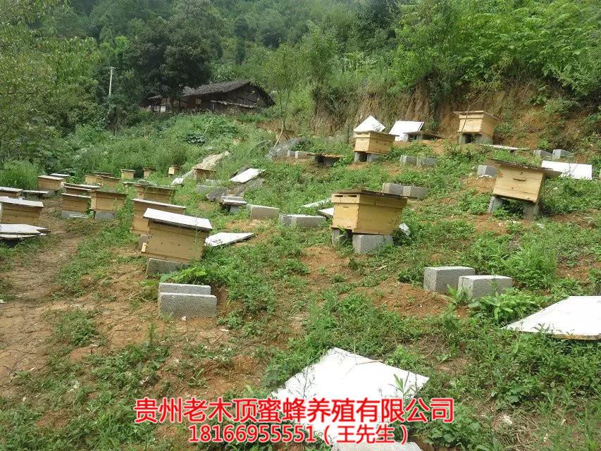 毕节中蜂培育