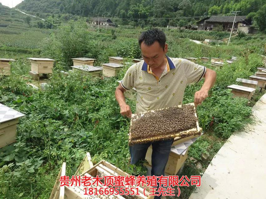 兴义中蜂培育