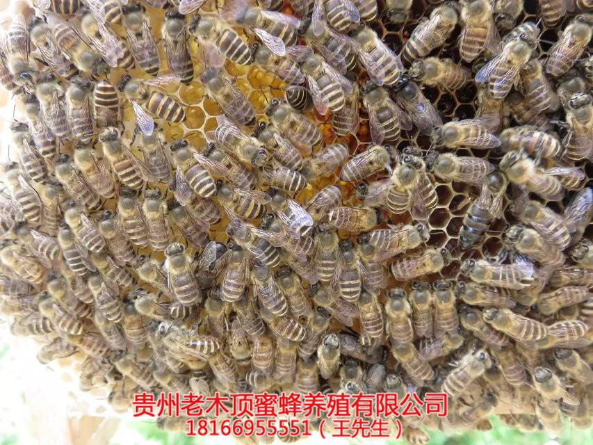 都匀中蜂培育