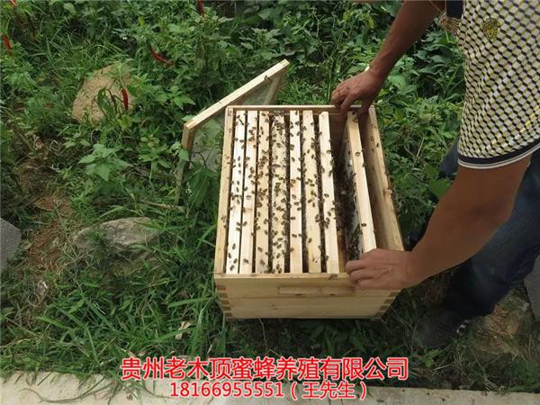 贵州土蜂出售