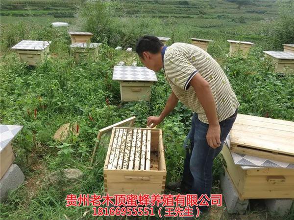 贵阳土蜂出售