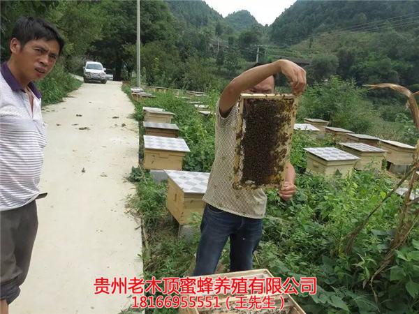 铜仁土蜂出售