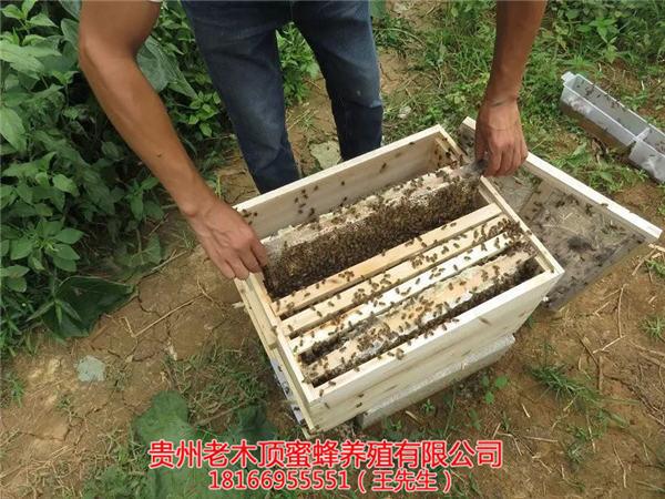 遵义土蜜蜂养殖场