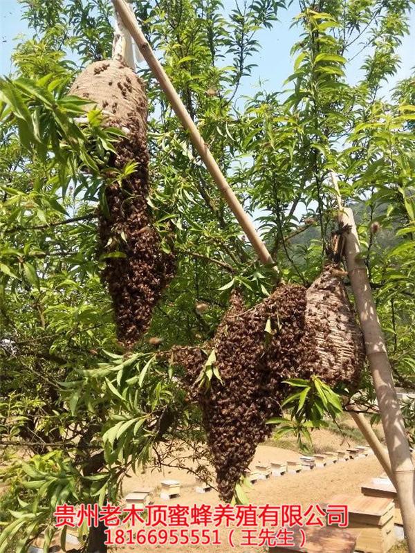 凯里土蜜蜂养殖场