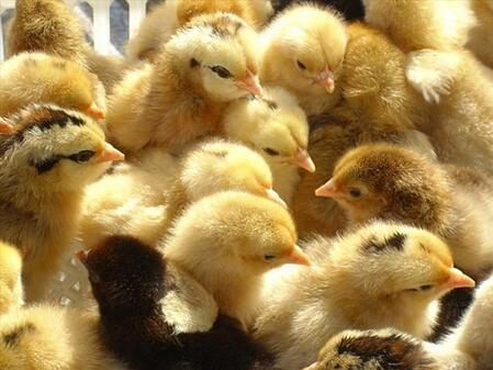 【图文】如何用大葱喂养土鸡苗_皖南土鸡苗告诉您如何给土鸡喂养杂食