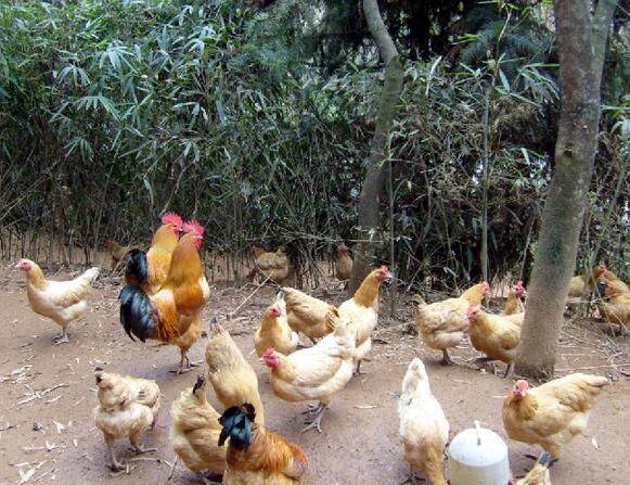 安徽土鸡苗厂家