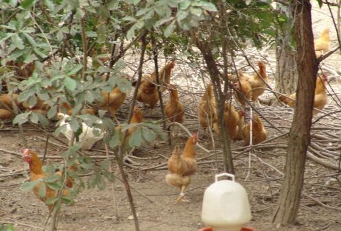 【图文】鸡病诊断要点,铜陵土鸡苗批发_皖南土鸡苗告诉您如何用大葱喂养土鸡苗