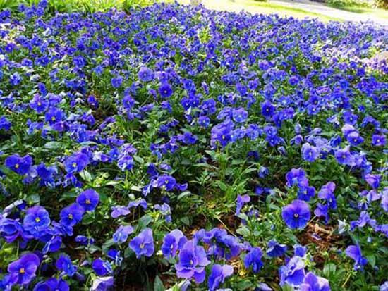 景观花卉种子培育