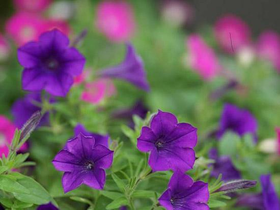 景观花卉种子批发